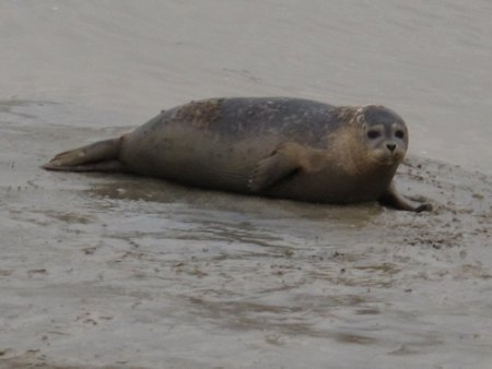 Seal by the River Rother at Rye